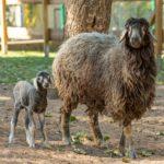 Schaf mit Nachwuchs im Tier- und Archepark Merzig