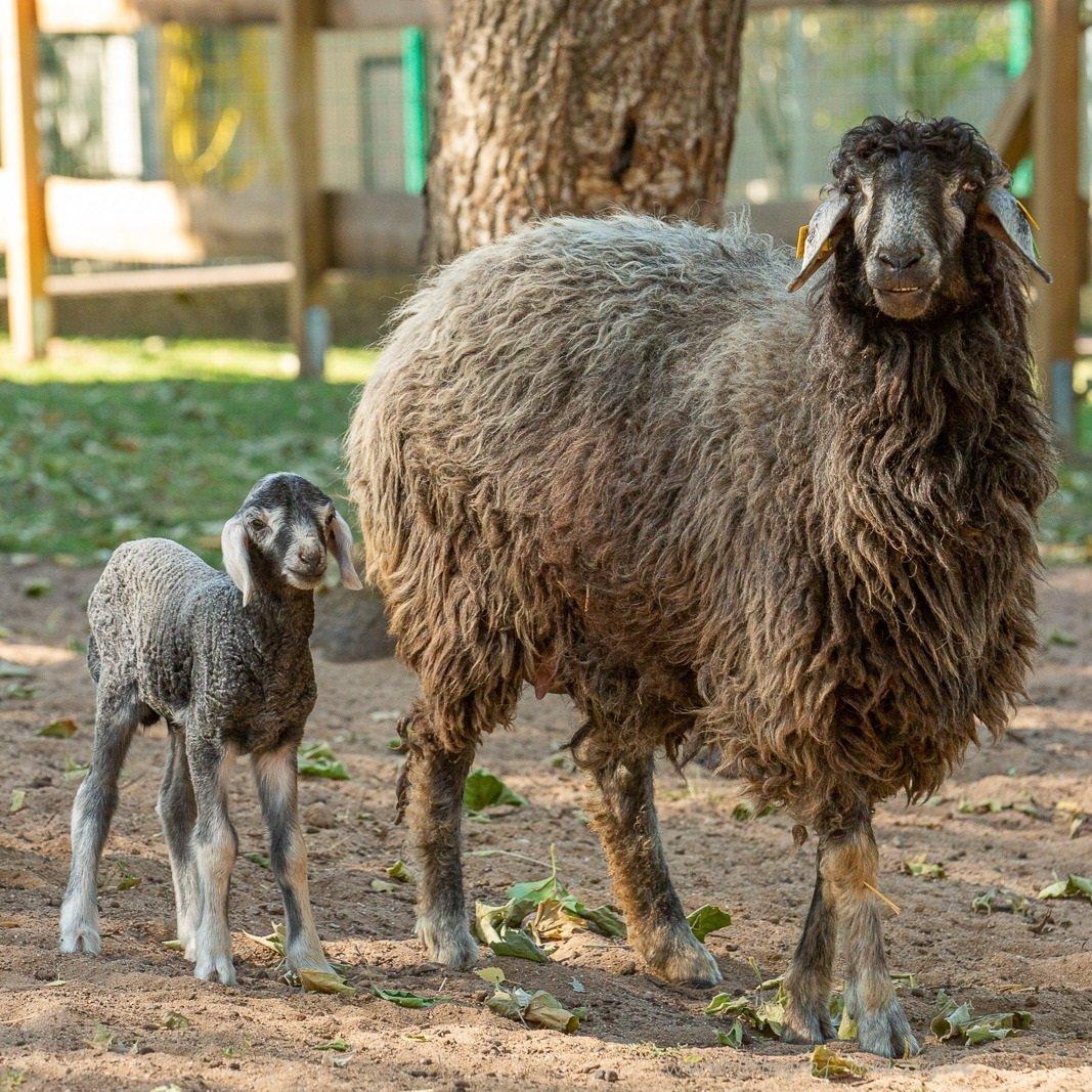 Das Foto zeigt ein Schaf mit Nachwuchs im Tier- und Archepark Merzig.