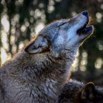 Einen heulenden Wolf im Wolfspark Werner Freund zeigt dieses Foto.