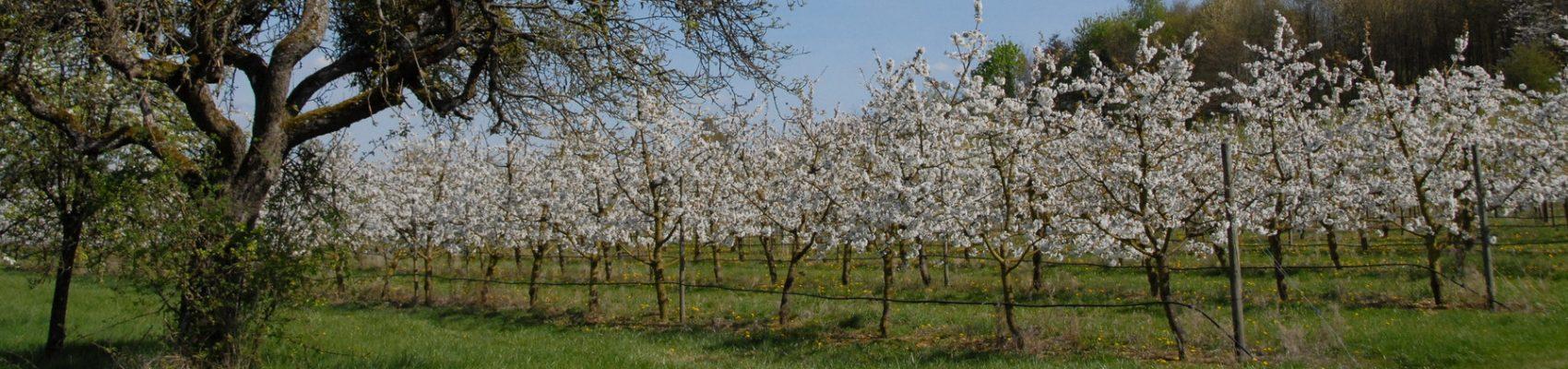 Zu sehen ist eine Wiese mit blühenden Obstbäumen.