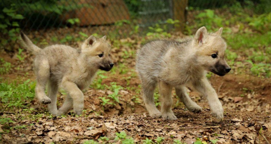 Das Foto zeigt die zwei kleinen Wölfe als Nachwuchs im Wolfspark-Werner-Freund.