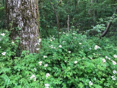Das Foto zeigt die Ackerrose im Merziger Stadtwald.