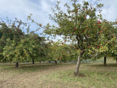 Diese Grafik zeigt Bäume die Äpfel tragen.